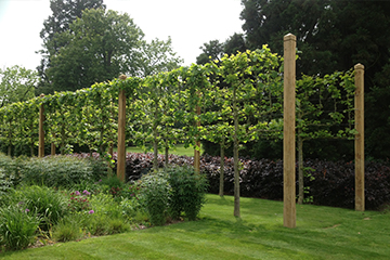 Completion of straining post & wire instalation with established Lime trees Seal Chart Sevenoaks Kent