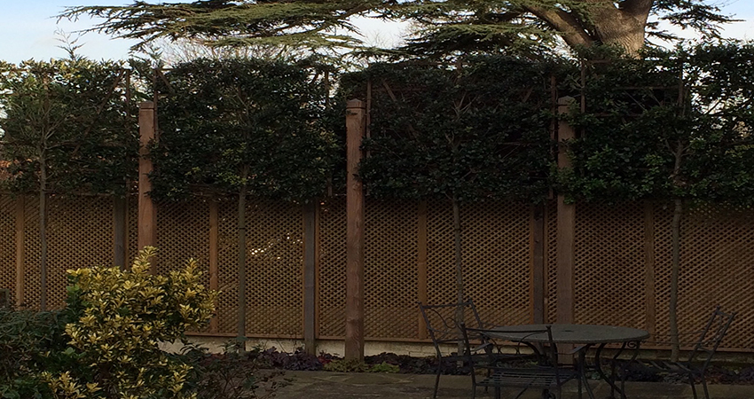 Pleached evergreen Oak screen. Bitchet Green, Sevenoaks, Kent