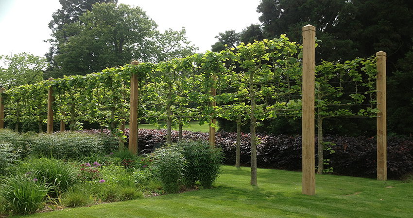 Straining post & wire installation with established Lime trees. Seal Chart, Sevenoaks, Kent